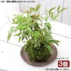 (盆栽)苔玉 山野草寄せ植え(品種おまかせ)(3個) 観葉植物 コケ玉