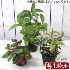 (山野草/盆栽)おまかせ 縁起木3種セット 2.5〜4号