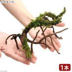 (観葉植物/苔)テラ向け ブランチアーチ流木 ハイゴケ付き(約15〜20cm)(1本)