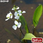 (ビオトープ)水辺植物 ヒメオモダカ(3株) (休眠株)