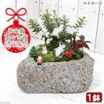 (山野草)苔盆栽 聖なる夜 クリスマス ヒイラギ&ゴールテリア(1鉢)ミニフィギュア付き