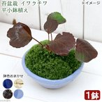 (山野草)苔盆栽 イワウチワ(岩団扇) 平小鉢植え 鉢色おまかせ(1鉢)