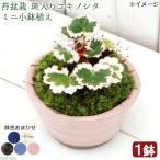 (山野草)苔盆栽 斑入りユキノシタ(御所車) ミニ小鉢植え 鉢色おまかせ(1鉢)