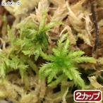 (観葉植物)苔 カップ売り 国産 生ミズゴケ(生水苔)(2カップ)