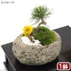 (盆栽)苔盆栽 福寿草と黒松の寄せ植え 飾り石付き 〜白溶岩石鉢〜 Mサイズ(1鉢)