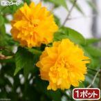 (山野草)盆栽 ヤエヤマブキ(八重山吹) 3号(1ポット)