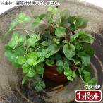 (ビオトープ)水辺植物 メダカの鉢にも入れられる水辺植物! ムチカとアルターレッドの寄せ植え(1ポット)(アルター挿したて) (休眠株)