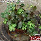 (ビオトープ)水辺植物 メダカの鉢にも入れられる水辺植物! ムチカとルビンの寄せ植え(1ポット)(ルビン挿したて) (休眠株)