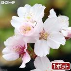 (盆栽)サクラ(桜) チシマザクラ(千島桜) 樹高15cm〜30cm前後 3号(1ポット)