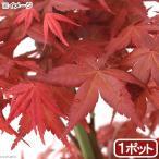 (山野草)盆栽 品種系モミジ 出猩々(デショウジョウ) 3号(1ポット)