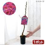 (盆栽)花桃 菊桃(キクモモ) 樹高80cm程度 3号(1ポット)