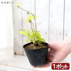 (山野草)盆栽 黄金葉ヤマアジサイ(黄金葉山紫陽花) 3号(1ポット)