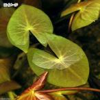 (ビオトープ)睡蓮 エゾベニヒツジグサ(1ポット)浮葉植物(休眠株)沖縄別途送料
