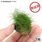 (水草)育成済 ヘアーグラスショートボール(無農薬)(3個) 北海道航空便要保温