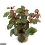 (水草)ライフマルチ(茶) ルドウィジアsp.スーパーレッド(水上葉)(無農薬)(1個)