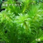 (水草)メダカ・金魚藻 国産 無農薬アナカリス(5本)