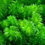 (水草)メダカ・金魚藻 国産 無農薬アナカリス(20本)