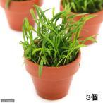 (水草)ミニ素焼き鉢 コブラグラス(水上葉)(無農薬)(3鉢)