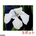 (ビオトープ/水辺植物)カキツバタ 白鷺(3ポット分)(植えたて)
