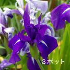 (ビオトープ/水辺植物)カキツバタ 羅生門(ラショウモン)(3ポット分)(植えたて)