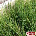 (ビオトープ/水辺植物)ヒメトクサ(3ポット)