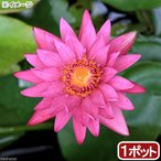 (ビオトープ/睡蓮)熱帯性睡蓮(スイレン)(桃) ホット ピンク(1ポット)(休眠株)