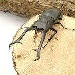 (昆虫)ギラファノコギリクワガタ フローレス産 成虫 101〜103mm(1ペア)