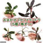 (水草)おまかせブセファランドラ(無農薬)(5種1株ずつ)