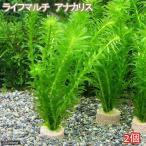 (水草)メダカ・金魚藻 ライフマルチ(茶) アナカリス(2個) 北海道航空便要保温
