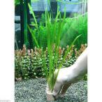 (水草)ライフマルチ(茶) バリスネリア スピラリス(無農薬)(4個)