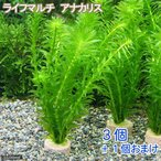 (水草)メダカ・金魚藻 お一人様3点限り ライフマルチ(茶) アナカリス(3個)+1個 北海道航空便要保温