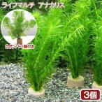 (水草)メダカ・金魚藻 お一人様3点限り ライフマルチ(茶) アナカリス(3個+カボンバ1個) 北海道航空便要保温