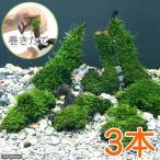 (水草)巻きたて ジャイアント南米ウィローモス 流木 SSサイズ(約10cm)(無農薬)(3本)