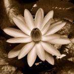 (ビオトープ/睡蓮)おまかせ熱帯性品種睡蓮(夜咲き) 色指定無し(1ポット)