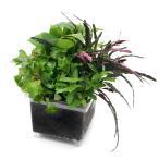 (テラリウム)ビバリウム用 かえるのお庭 おまかせ寄植え(水上葉)(無農薬)(1個)本州四国限定