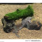 (水草 熱帯魚)プレコの隠れ家 水草付(無農薬)(1セット) 本州・四国限定