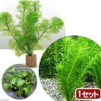 (水草)ライフマルチ(茶) メダカ・金魚藻セット+ホテイ草(1セット) 北海道航空便要保温