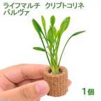(水草)ライフマルチ(茶) クリプトコリネ パルヴァ(1個) 北海道航空便要保温