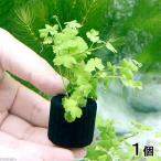 (水草)マルチリング・ブラック(黒) オーストラリアン ノチドメ(無農薬)(1個)