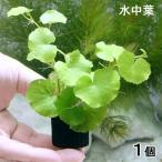 (水草)マルチリング・ブラック(黒) アマゾンチドメグサ(水中葉)(無農薬)(1個)