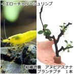 (エビ 水草)チャームのエビの木 ver.檸檬 北海道航空便要保温