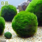 (水草)(B品)セイヨウマリモ Sサイズ(約2〜3cm)(無農薬)(1個)