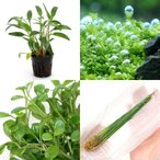 (水草)人気の前景草3種セット(水上葉)+おまかせクリプトコリネ(無農薬)(1ポット)