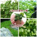 (水草)人気の前景草4種セット+ライフマルチ(茶) アヌビアスナナ プチ