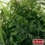 (水草)ウィローモス ミックス(無農薬)(1パック) 北海道航空便要保温