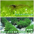 (エビ 水草)育成済 ウィローモス 流木 SSサイズ(無農薬)(1本)+ミナミヌマエビ(10匹)