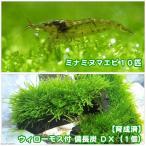(水草)育成済 ウィローモス 備長炭 DX(無農薬)(1個) +ミナミヌマエビ(10匹) 北海道航空便要保温