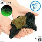 (水草)巻きたて ロックウール付 ヘアーグラスショート 流木 Sサイズ(10〜15cm)(無農薬)(1本)