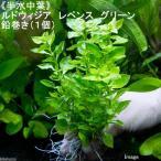 (水草)半水中葉 ルドウィジア レペンス グリーン 鉛巻き(無農薬)(1個)
