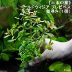 (水草)半水中葉 ルドウィジア ブレビペス 鉛巻き(無農薬)(1個)
